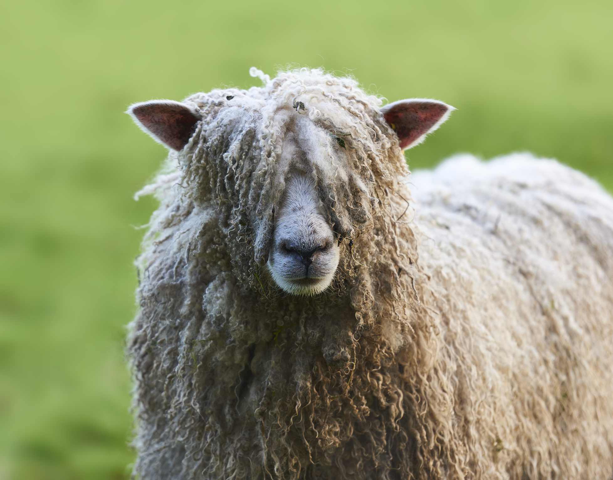 Pull the wool over your eyes, shaggy sheep